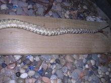 Snake_001
